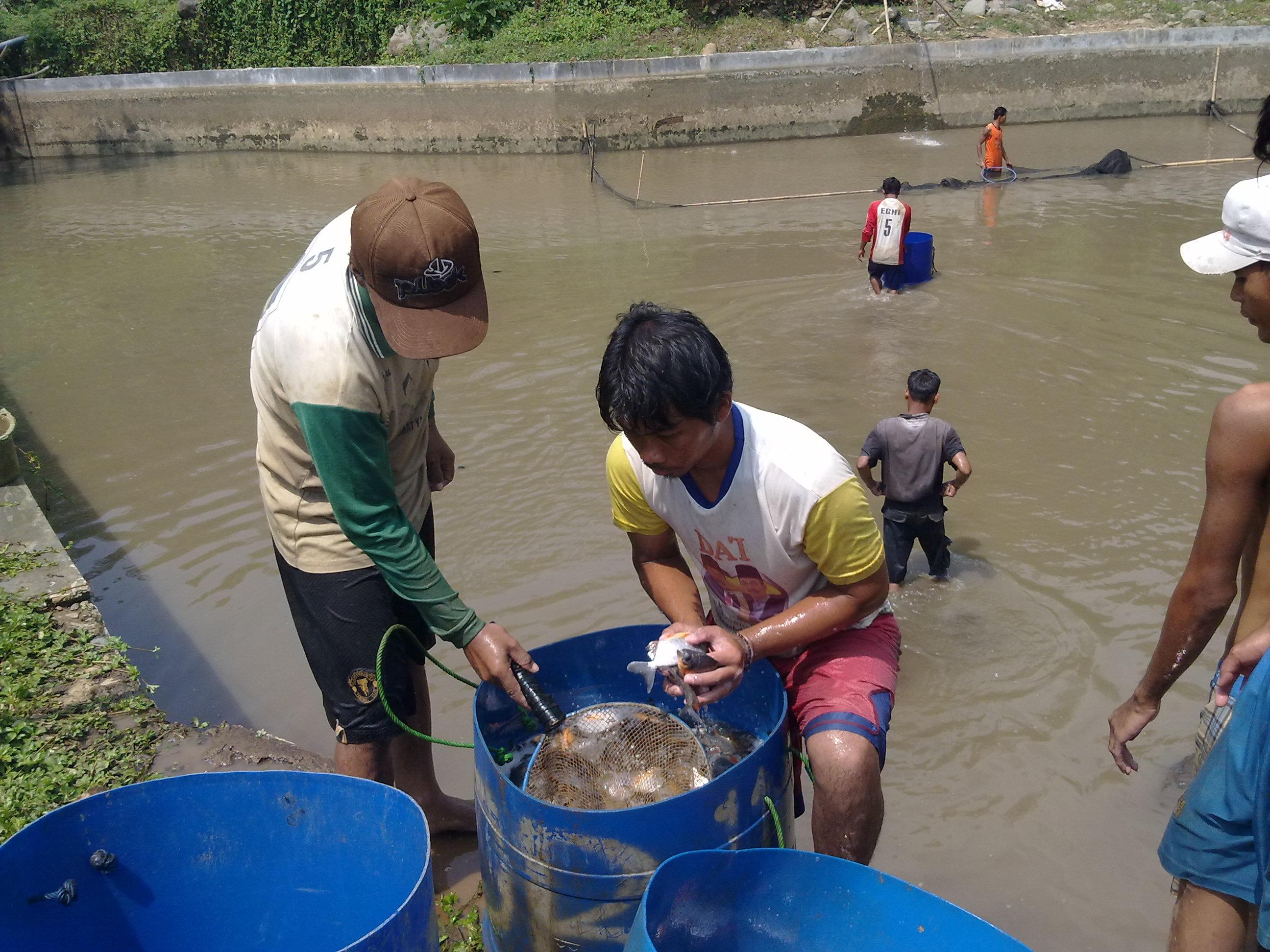 Budi Daya Ikan Bawal Dunia Bawal